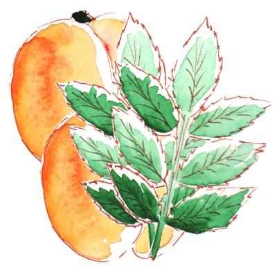 dessin menthe abricot