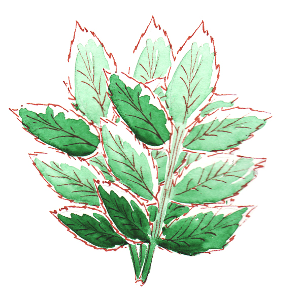 illustration menthe à l'aquarelle