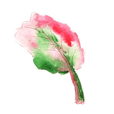 illustration rhubarbe à l'aquarelle 1