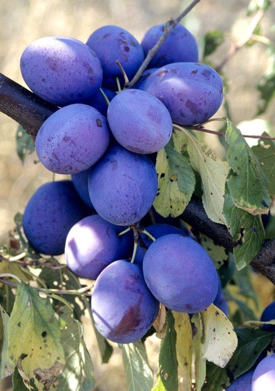 prune bleu