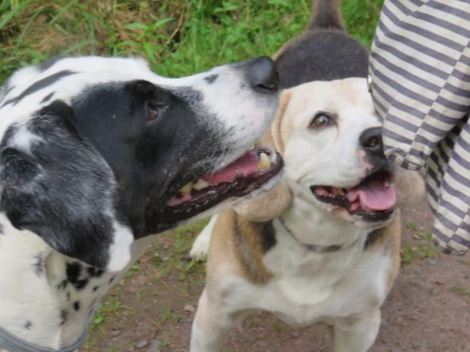 beagle-et-pointer